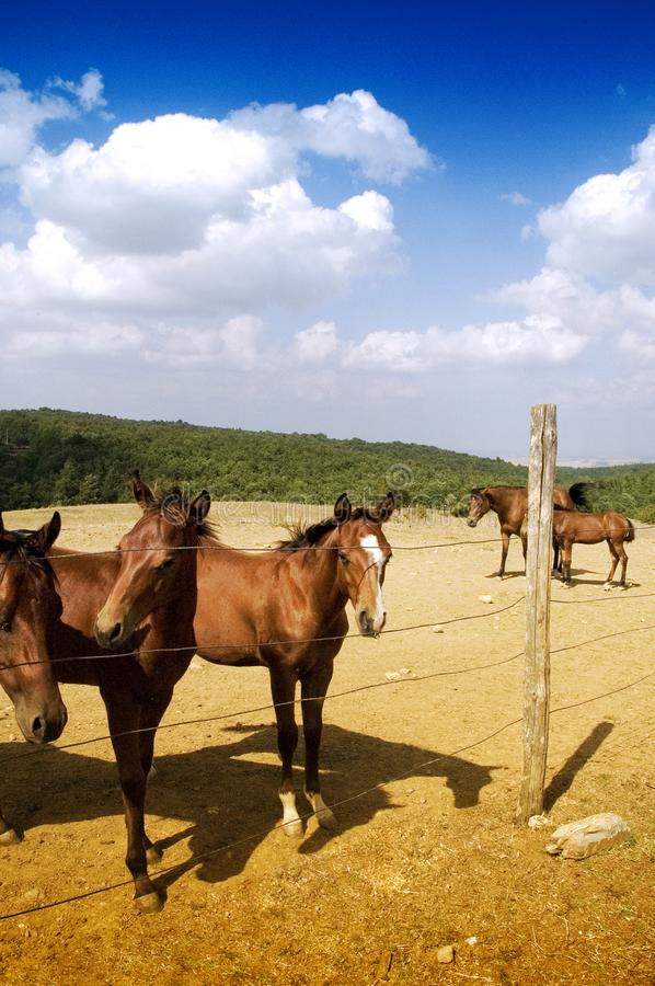 Grazing horses stock images