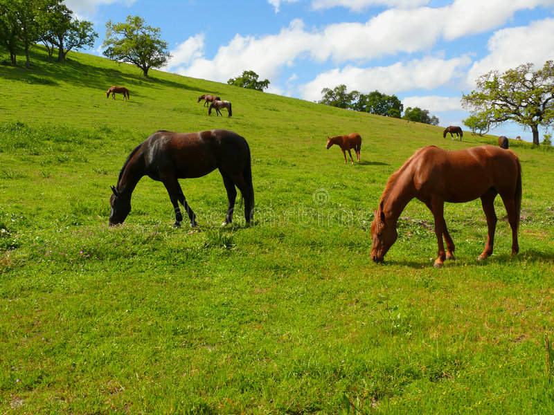 Download Grazing horses stock photo. Image of trees, blue, outdoor - 4857020