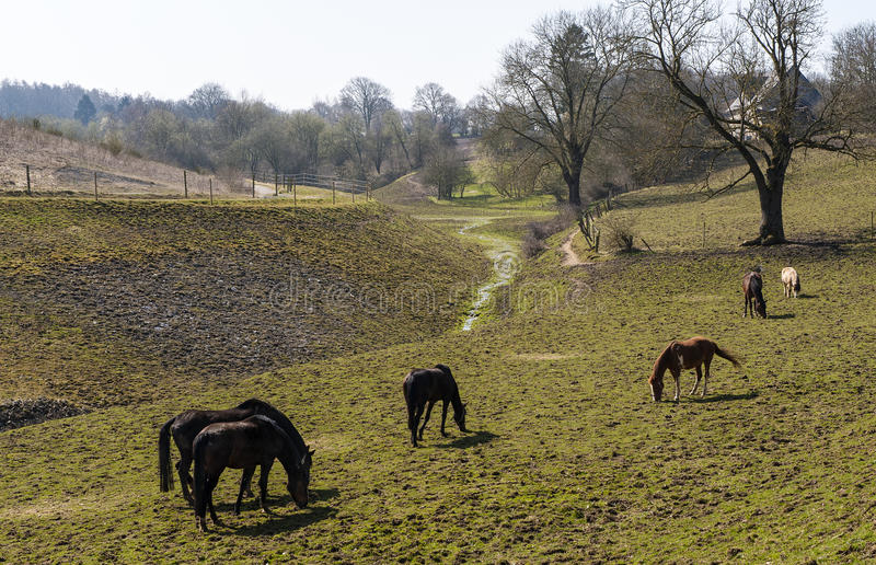 Grazing horses. Bunch of horses grazing on hilly farmland stock images