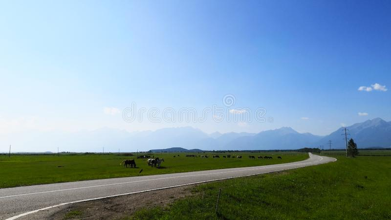 Grazing horses in a landscape field on a summer day in the mountains gave a clear day against the blue sky. stock photography