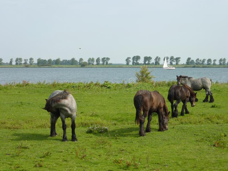 Grazing horses in summer stock photography