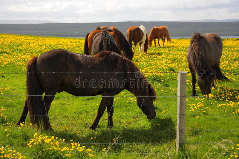 Download Grazing Icelandic Horses stock image. Image of cute, equestre - 12521057