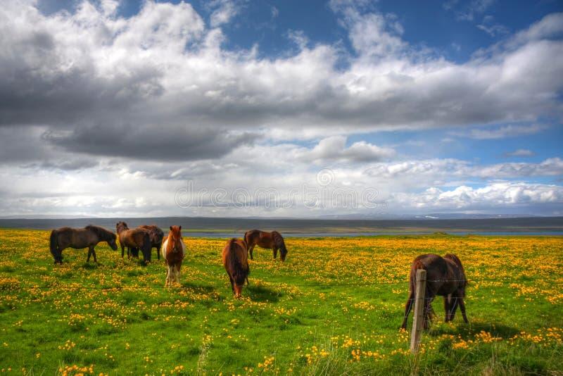 Grazing Icelanic Horses royalty free stock images