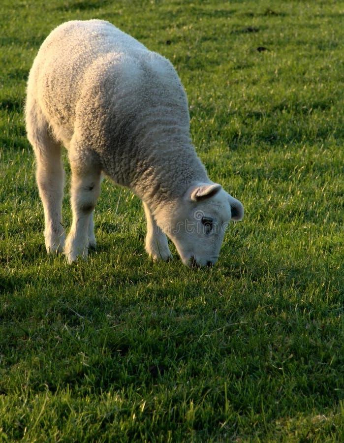 Grazing lamb royalty free stock photos