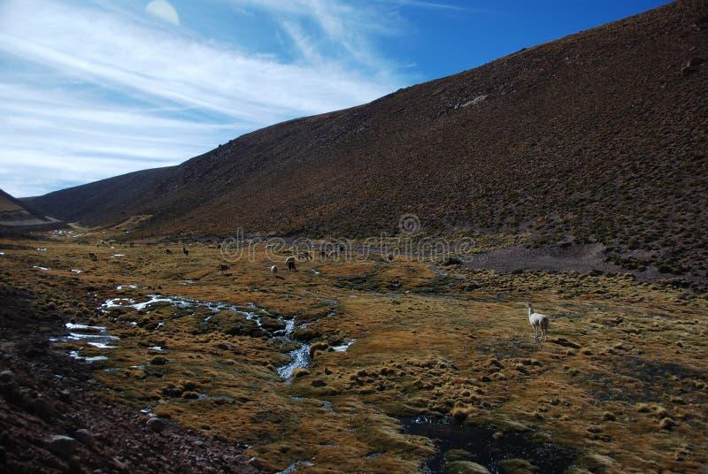 Download Grazing llamas stock image. Image of mammals, wildlife - 12899863