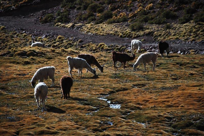Grazing llamas royalty free stock images