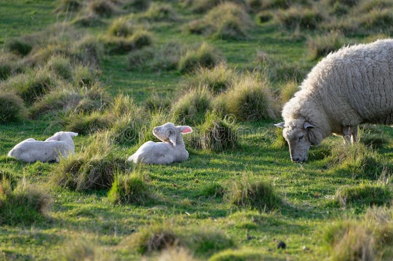 A ewe grazes in a green paddock with her lambs. A grazing mother sheep with twin lambs in a paddock royalty free stock photography