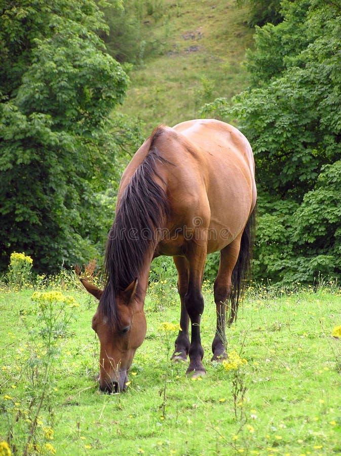 Grazing Pony 3 royalty free stock image