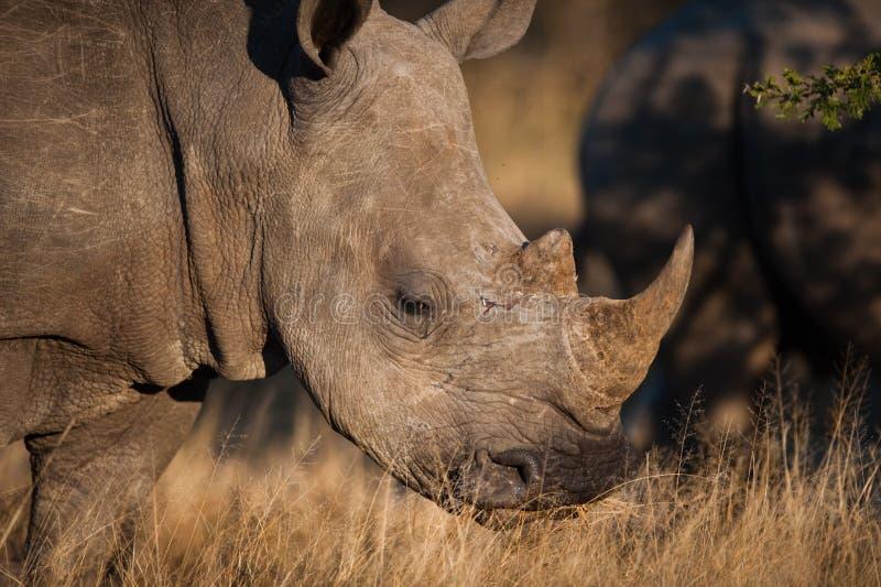 Grazing rhino. SOUTHERN WHITE RHINOCEROS (Ceratotherium simum simum) grazing royalty free stock photos