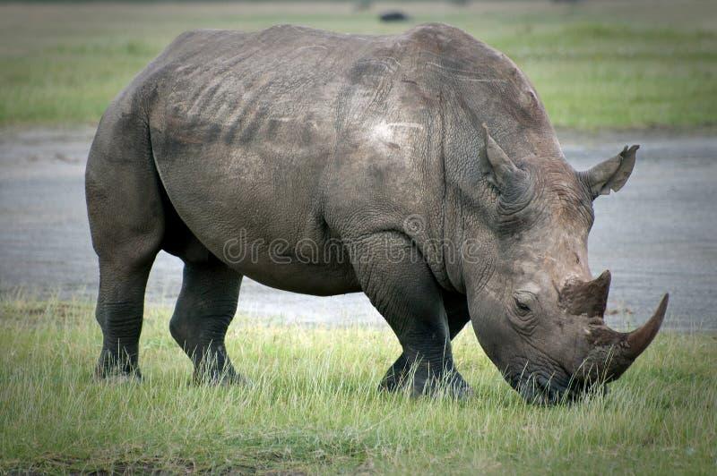 Grazing Rhino around Lake Nakuru in Kenya stock photos