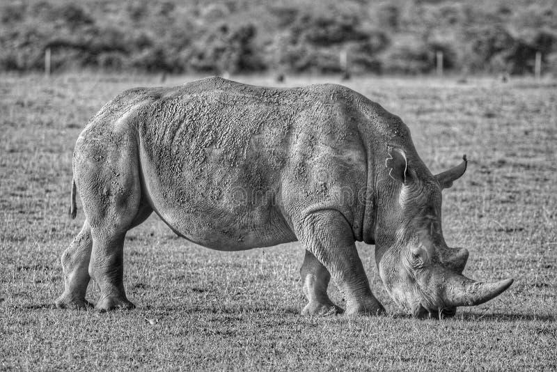 Grazing Rhino stock image