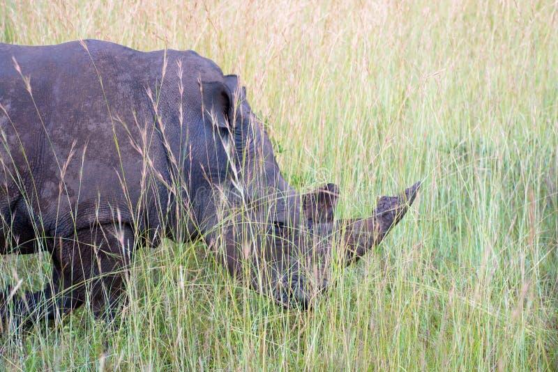 Grazing rhinoceros. Rhinoceros (Ceratotherium simum) grazing in tall grass royalty free stock photo