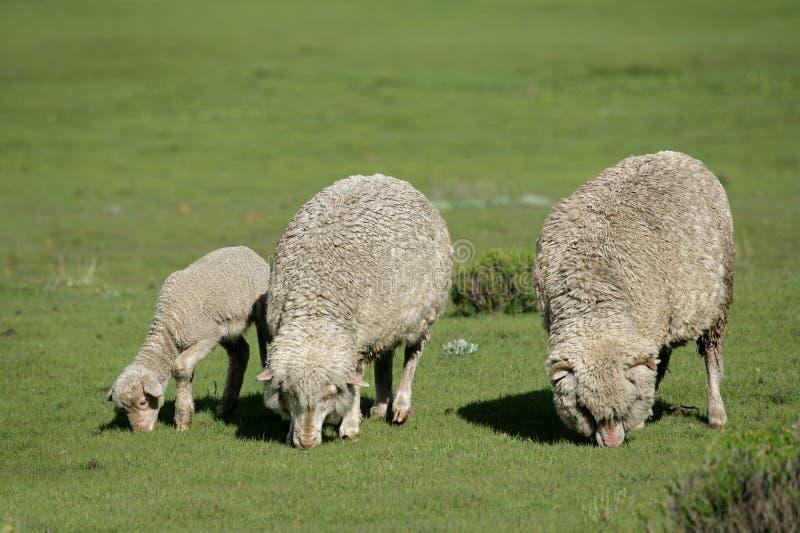 Download Grazing Sheep Stock Photos - Image: 14905433
