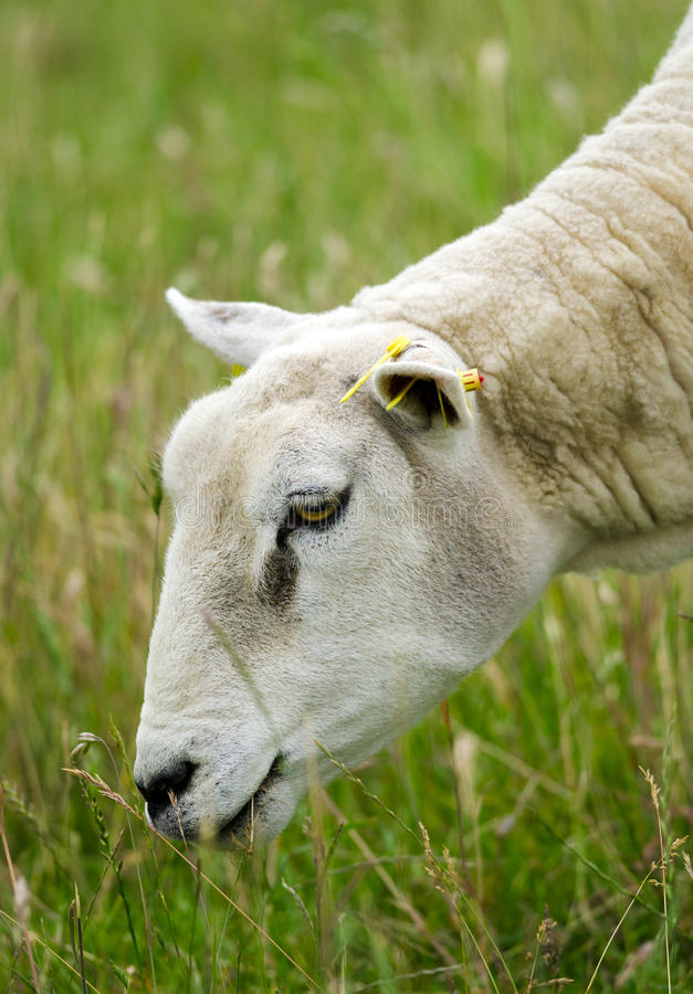 Grazing Sheep Royalty Free Stock Photography
