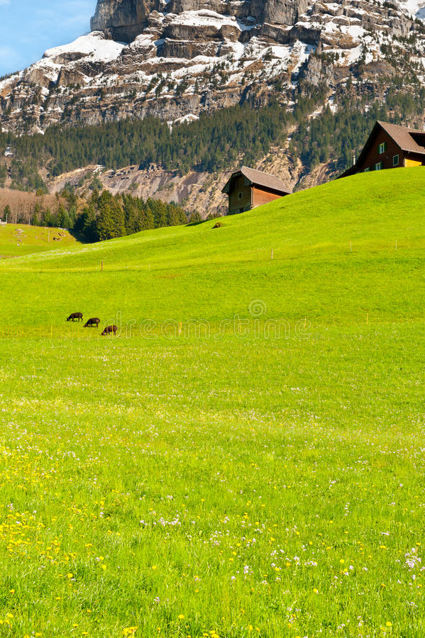 Download Grazing Sheep stock image. Image of country, home, countryside - 26987433
