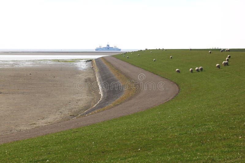 Grazing sheep at Ameland Island dike, Netherlands royalty free stock image