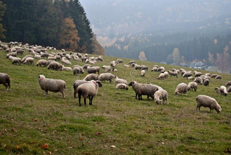 Grazing sheep on autumn meadow stock photos