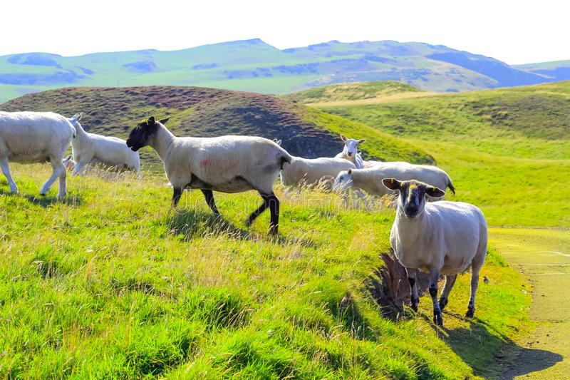 Grazing sheep at beautiful cliffs of Scotland, St Abb`s Head, UK royalty free stock images