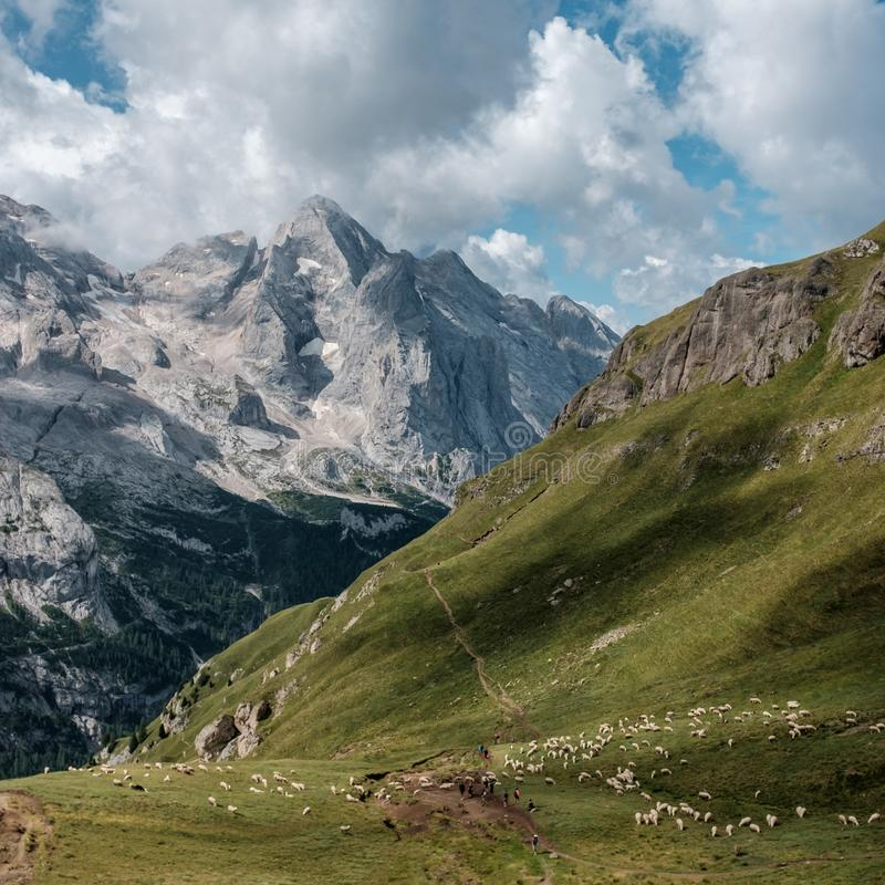 Grazing sheep in front of the mighty Marmolada mountain in the Dolomites in Italy stock photography