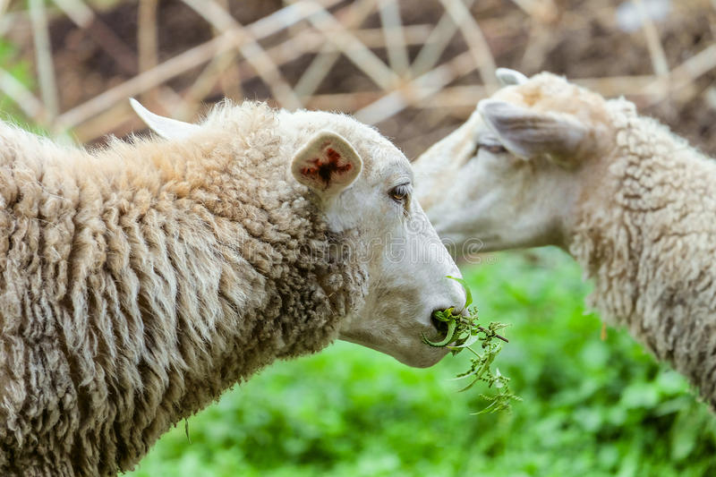 Grazing sheep. Head of the animal eating the green stalk. Farm animals scene with limited depth of field royalty free stock photo