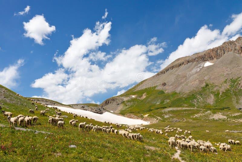 Grazing Sheep Herd. In Alpine Tundra in Colorado stock photos