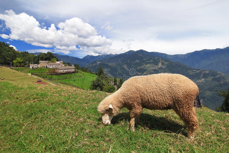 Grazing Sheep On A Meadow Stock Photo