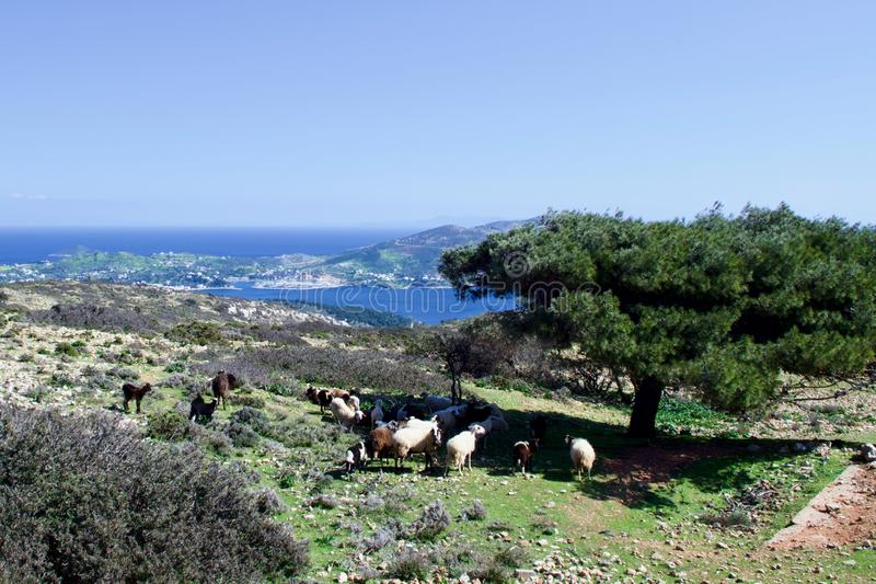 Sheep Resting on a Greek Hillside. Grazing sheep near abandoned WW2 ruins on the island of Leros in the Dodecanese chain, Greece stock photo
