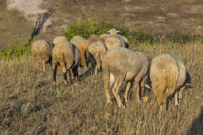 Grazing sheep near Rock phenomenon Stone Wedding, Bulgaria. Grazing sheep near Rock phenomenon Stone Wedding near town of Kardzhali, Bulgaria stock photos