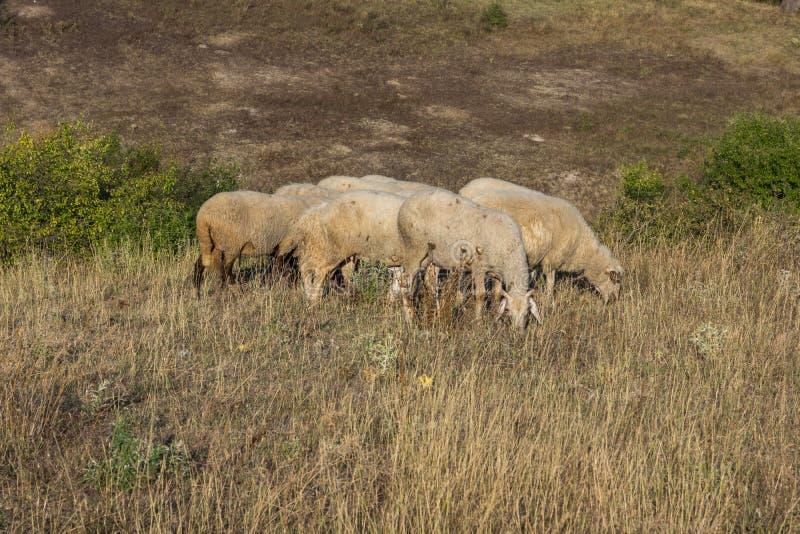 Grazing sheep near Rock phenomenon Stone Wedding, Bulgaria. Grazing sheep near Rock phenomenon Stone Wedding near town of Kardzhali, Bulgaria royalty free stock photos