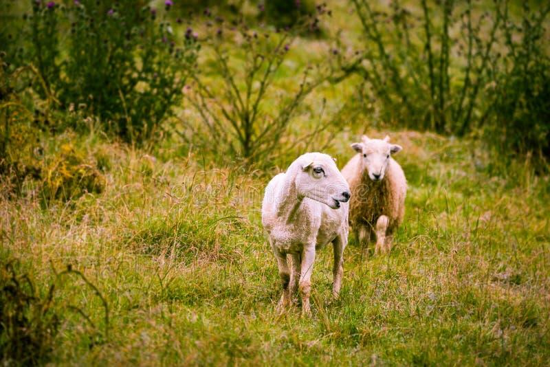 Grazing sheep stock photos