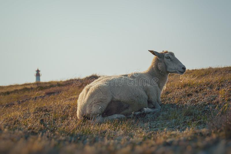 Grazing Sheep in warm evening light. On the island Sylt, Germany stock photo