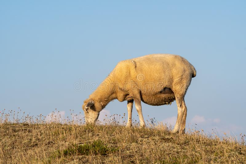 Grazing Sheep in warm evening light. On the island Sylt, Germany royalty free stock images