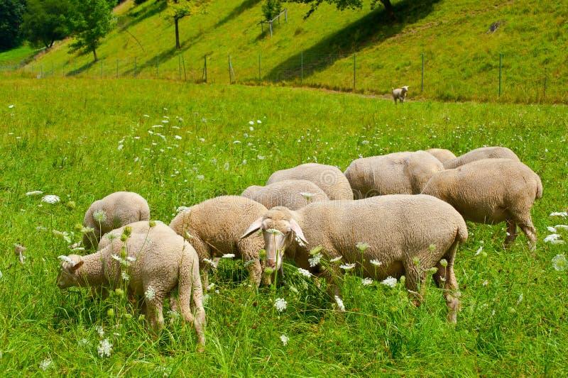 Grazing Sheeps Stock Photos