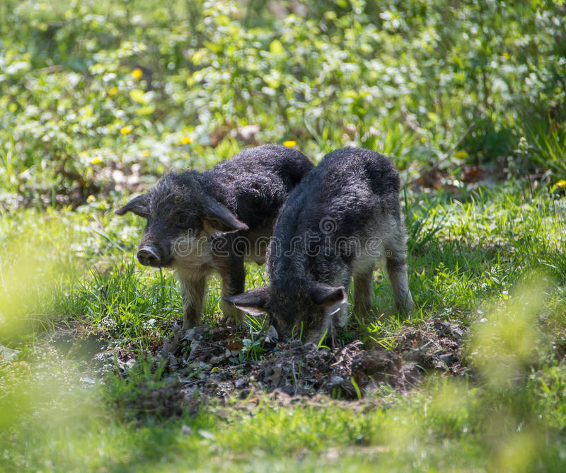 Grazing on the spring meadow little pigs royalty free stock photography