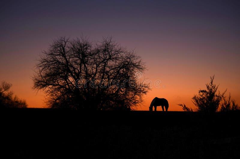 Grazing at sunset stock image