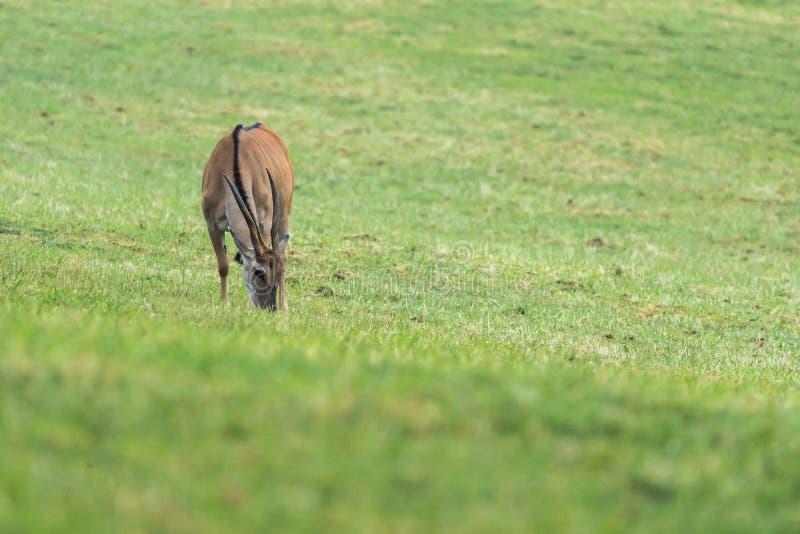 Grazing van de bodem in het gras royalty-vrije stock afbeelding