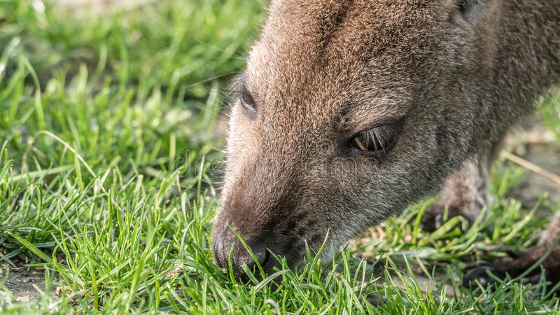 Grazing wallaby stock photography