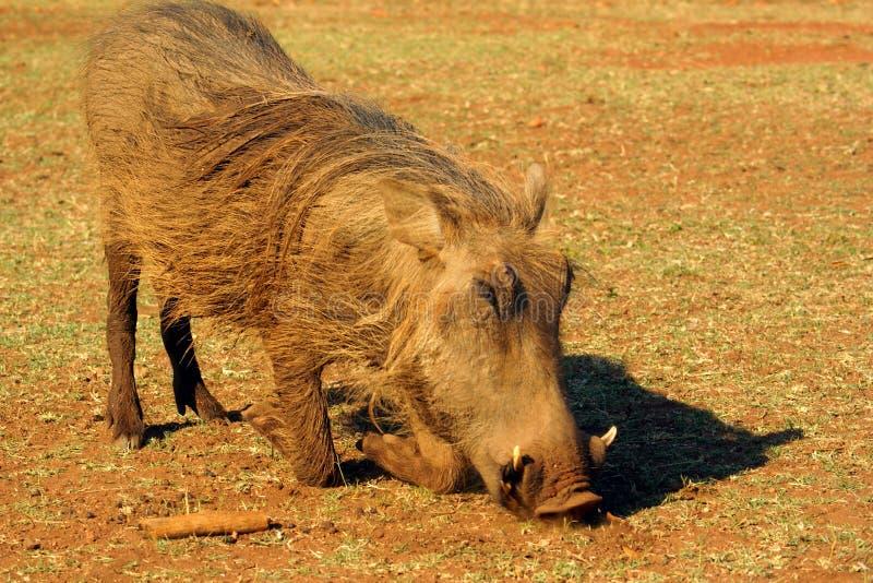 Grazing warthog royalty free stock photo
