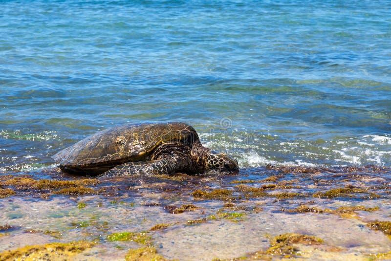 Grazlng de la tortuga de mar verde fotos de archivo