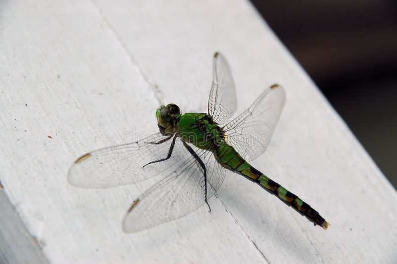 Download Grean Dragon stock photo. Image of tail, sting, eyes, dragonfly - 468828