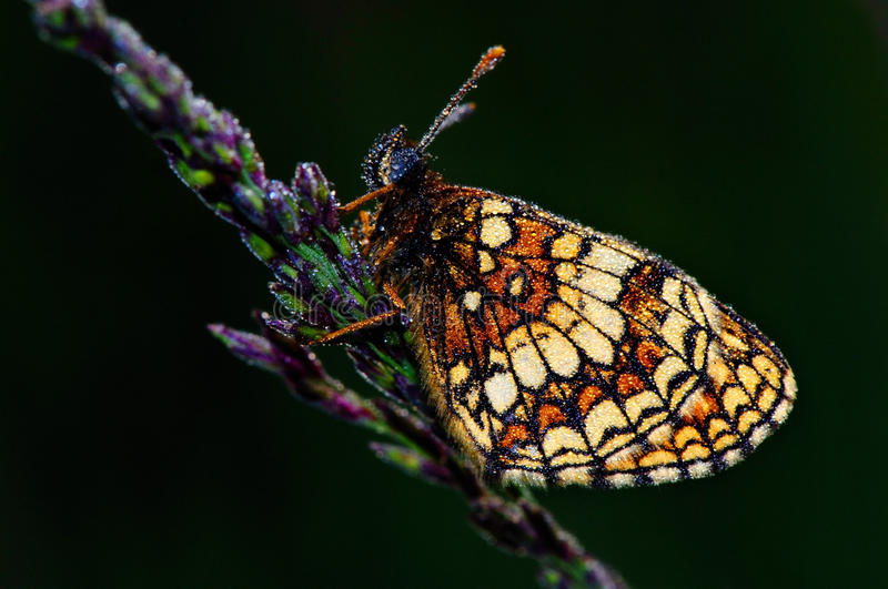 Greasy fritillary (Euphydryas aurinia). On a grass stalk in blossom royalty free stock image