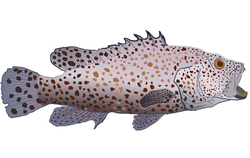 Greasy grouper. The vector drawing of a sea fish living among coral reeves stock illustration
