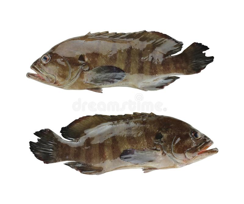 GREASY GROUPER or Coral Sea basses fish isolated on white stock photo