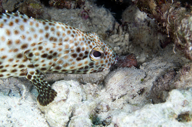 Greasy grouper (ephinephelus tauvina) in the Red Sea. Greasy grouper in the Red Sea royalty free stock photography