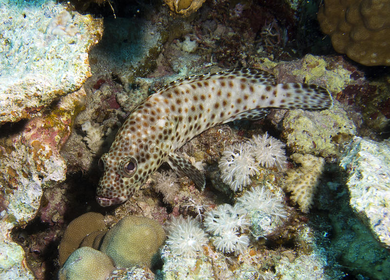 Greasy grouper. Epinephelus tauvina, red sea egypt royalty free stock photography