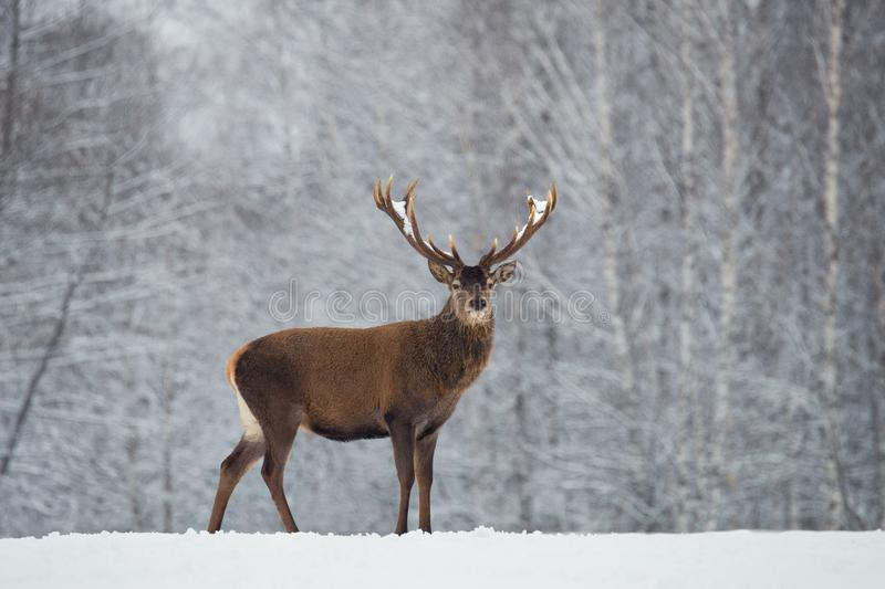 Great adult noble red deer with big beautiful horns on snowy field on forest background. Cervus Elaphus. Deer Stag Close-Up royalty free stock photography