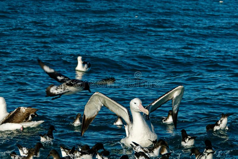 A great albatross with some petrels on the sea royalty free stock images