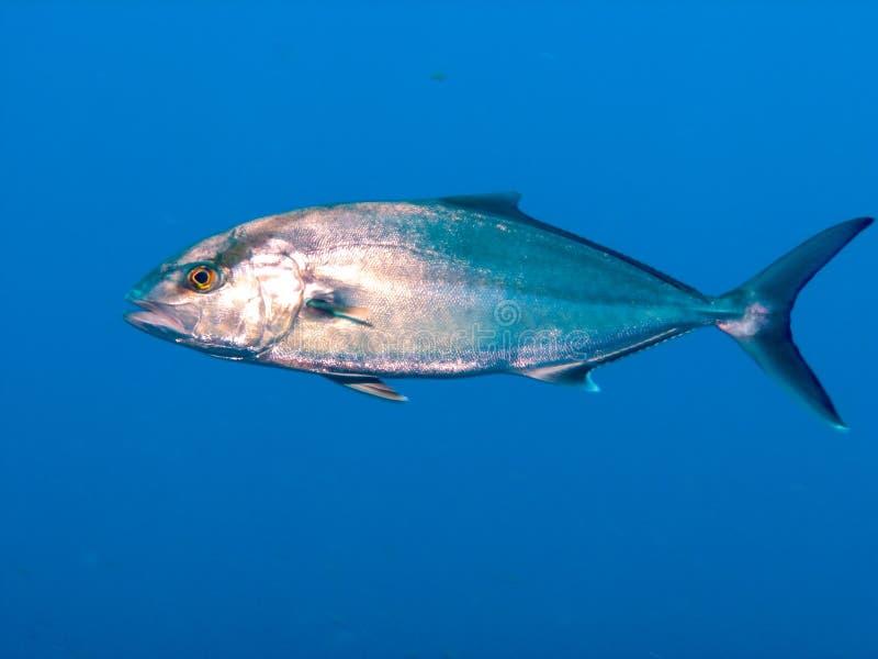 Great Amberjack fish in Brazil stock image