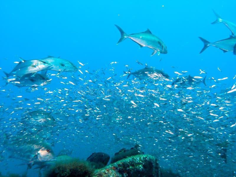 Great Amberjack fish feeding frenzy stock photo