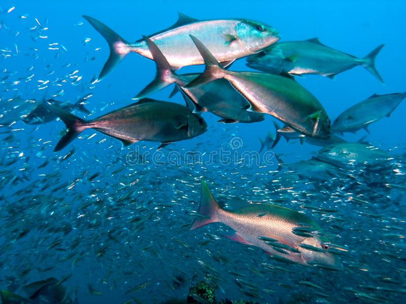 Great Amberjack fish feeding frenzy stock images